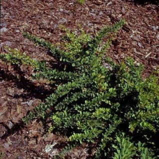 Teppich Beberitze Green Carpet 60-80cm - Berberis thunbergii