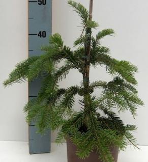Japanische Hängetanne 100-125cm - Abies veitchii Pendula