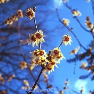 Chinesische Winterblüte 125-150cm - Chimonanthus praecox