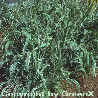 Buntes Glanzgras - großer Topf - Phalaris arundinacea