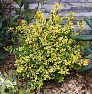 Gelber Bergilex Stechpalme 50-60cm - ilex crenata