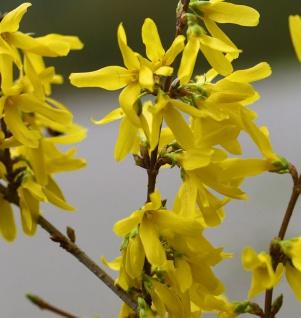 Hochstamm Goldglöckchen Spectabilis® 100-125cm - Forsythia intermedia Spectabilis®