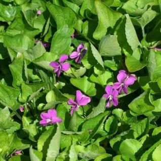 Duftveilchen Red Charm - Viola odorata