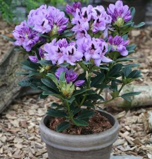 INKARHO - Großblumige Rhododendron Blue Jay 25-30cm - Alpenrose