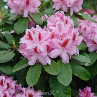INKARHO - Großblumige Rhododendron Frühlingsbeginn 25-30cm - Alpenrose