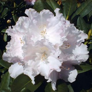 INKARHO - Rhododendron Silberwolke 50-60cm - Alpenrose