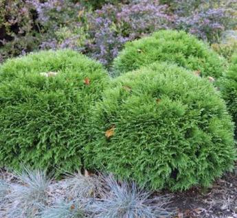 Bubikopf Lebensbaum Mr Bowling Ball 20-25cm - Thuja occidentalis
