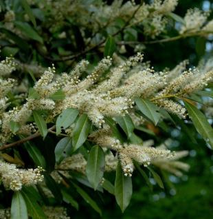 breitwachsende Lorbeerkirsche Otto Luyken 60-80cm - Prunus laurocerasus