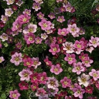 Moossteinbrech Pink Carpet - Saxifraga arendsii