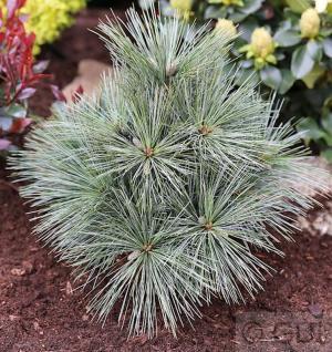Kissenkiefer Krügers Lilliput 40-50cm - Pinus strobus Krügers Liliput - Vorschau