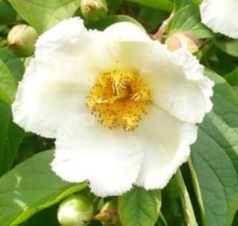 Japanische Scheinkamelie 80-100cm - Stewartia pseudocamellia