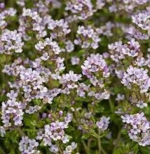 Echter Thymian - großer Topf - Thymus vulgaris