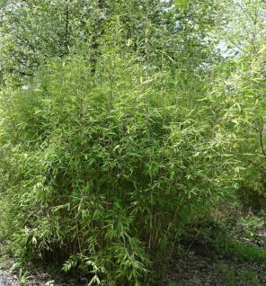 Gartenbambus Chinese Walls 80-100cm - Fargesia murielae