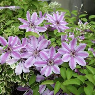 Waldrebe Capitaine Thuilleaux 40-60cm - Clematis