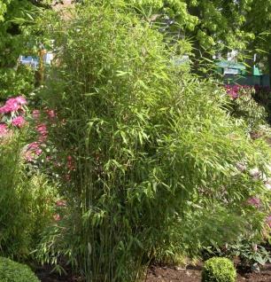Roter Bambus Jiuzhaigou Deep Purple® 100-125cm - Fargesia speciosa