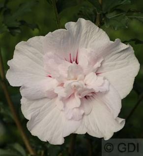 Garteneibisch Leopold 80-100cm - Hibiscus syriacus