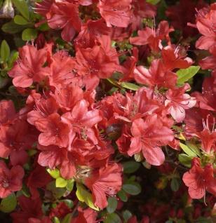 Japanische Azalee Rotstein 20-25cm - Rhododendron obtusum - Zwerg Alpenrose