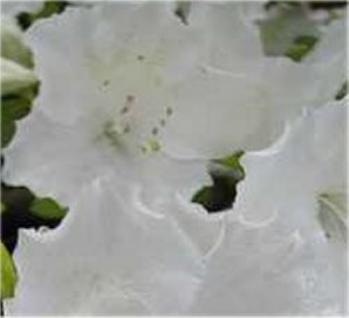 Japanische Azalee Schneeglanz 30-40cm - Rhododendron obtusum - Zwerg Alpenrose