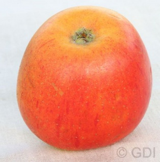 Apfelbaum Goldparmänel 60-80cm - edel und fest
