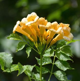 Gelbe Klettertrompete 100-125cm - Campsis radicans