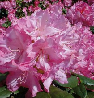 INKARHO - Rhododendron Blurettia 40-50cm - Alpenrose