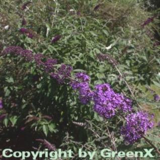 Sommerflieder Nanho Purple 30-40cm - Buddleja