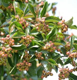 Weißdorn Jubilee 125-150cm - Crataegus succulenta