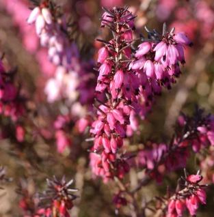 10x Englische Heide Spring Surprise - Erica darleyensis