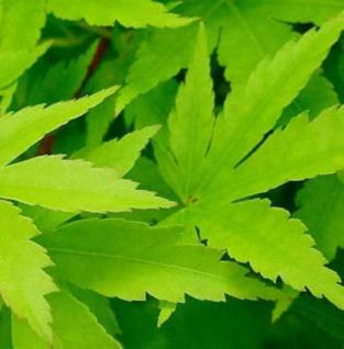 Japanischer Ahorn Sango Kaku 80-100cm - Acer palmatum