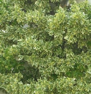 Gelbbunter Spindelstrauch Bravo 10-15cm - Euonymus japonicus