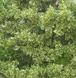 Gelbbunter Spindelstrauch Bravo 15-20cm - Euonymus japonicus