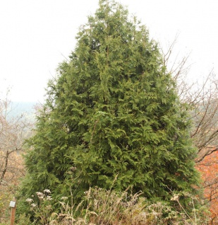 Hibalebensbaum 60-70cm - Thujopsis dolabrata