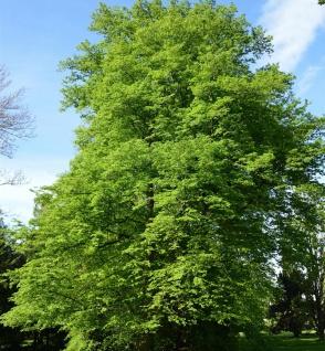 Hainbuche Beekmann 80-100cm - Carpinus betulus