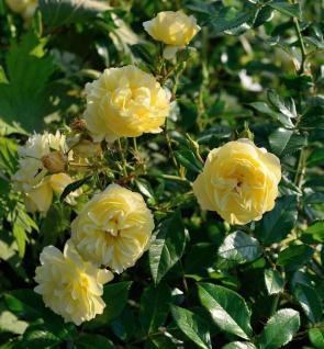 Bodendeckerrose Sonnenschirm® 20-30cm