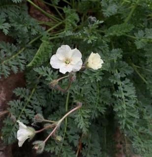 Gelber Reiherschnabel - Erodium chrysanthum