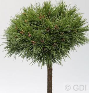Hochstamm Kompakte Kugelkiefer Varella 30-40cm - Pinus mugo Varella