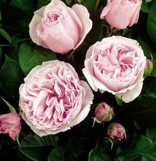 Hochstamm Rose Gartenträume® 80-100cm - Tantau Rose
