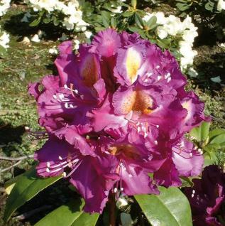Großblumige Rhododendron Tamarindos 60-70cm - Alpenrose