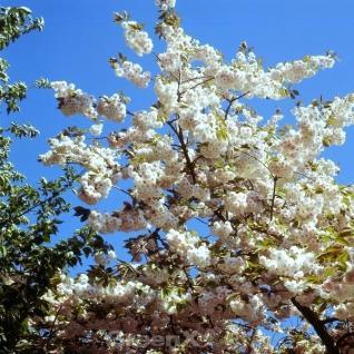 Hochstamm Zierkirsche Shirofugen 100-125cm - Prunus serrulata