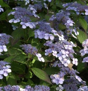 Teller Hortensie Blue Deckle 30-40cm - Hydrangea serrata