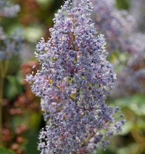 Säckelblume Glorie Versailles 40-60cm - Ceanothus delilianus