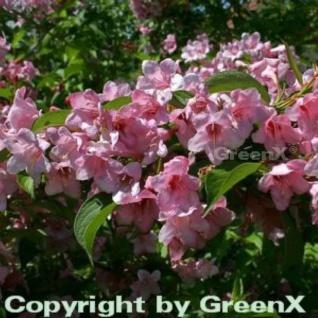 Weigelie Rosea 100-125cm - Weigela florida