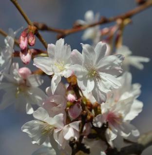 Schneekirsche Winterkirsche 100-125cm - Prunus subhirtella