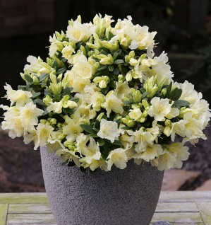 Zwerg Wild Alpenrose Patty Bee 10-15cm - Rhododendron keiskei