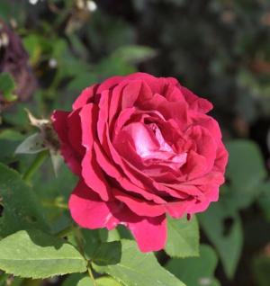 Historische Rose Souv. Du Docteur Jamein 30-60cm