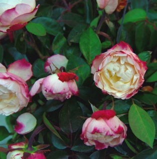 Hochstamm Rose Nostalgie® 80-100cm
