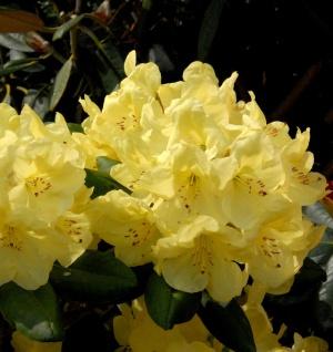 Großblumige Rhododendron Goldinetta® 60-70cm - Alpenrose
