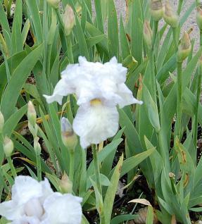 Schwertlilie English Cottage - Iris barbata