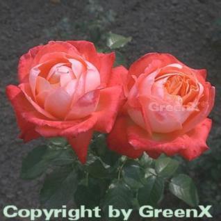 Edelrose Königen der Rosen® 30-60cm