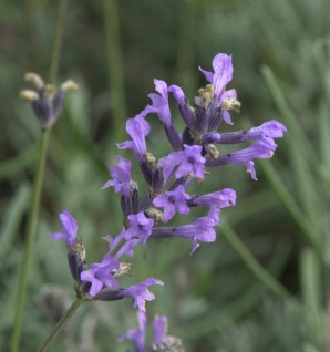 Lavendel - Lavandula officinalis